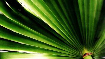Palmierul pitic este mai eficient in tratarea bolilor de prostata decat medicamentele de sinteza