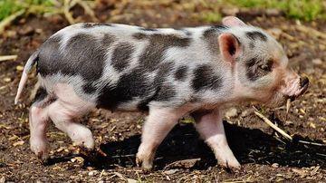 Crude realitati din industria carnii de porc