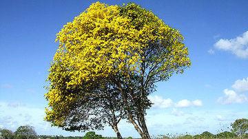 Pau D'arco: unul dintre cele mai puternice remedii din Amazon