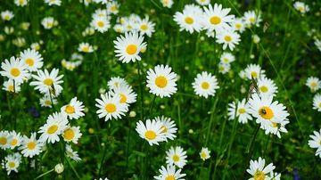 5 plante care ajuta la calmarea nervilor