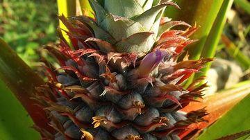 Beneficiile pentru sanatate ale ananasului