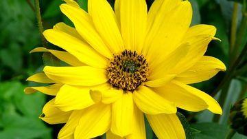 Arnica, o plantă cu puternice proprietăţi de vindecare a rănilor