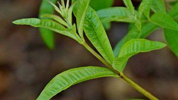Beneficiile lămâiţei, o plantă plină de daruri