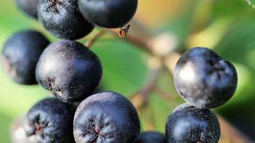 Aronia - fructul anti-îmbătrânire cu cel mai mare conţinut de antioxidanţi