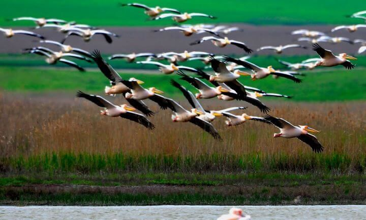 Peter Lengyel  - Pelicani in Delta Dunarii