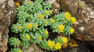6 Beneficii ale Rhodiola Rosea: Ce este și cum se folosește?